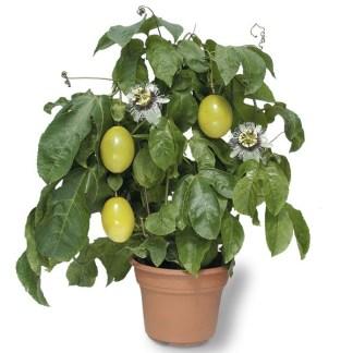 semi passion fruit passiflora