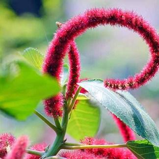 semi di amaranto coda di volpe
