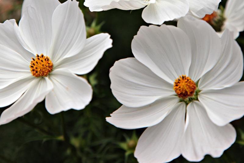 fiori cosmos bianchi semi