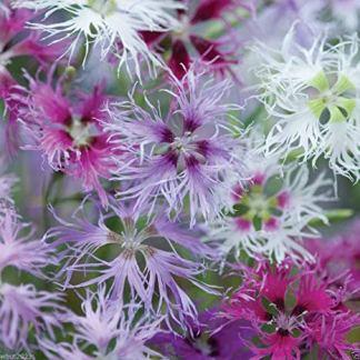 fiori garofano dianthus ibrido semi