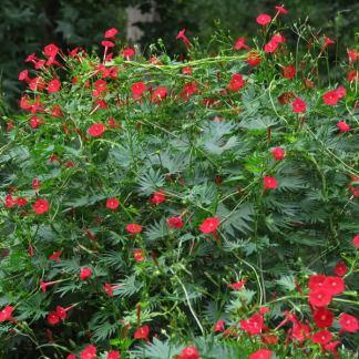 ipomea fiori rosso rampicante semi