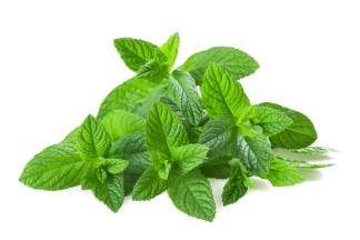 menta piperita semi