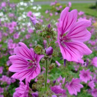 fiori malva coltivare semi online