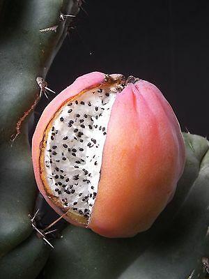 semi frutto cactus