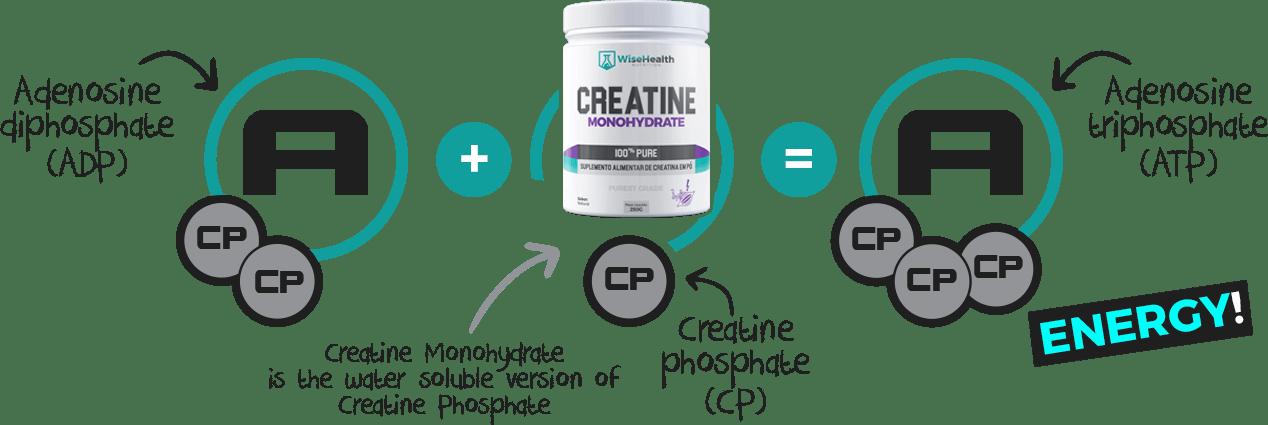 ATP Creatina