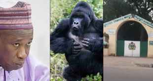 Governor Ganduje Reveals How Kano's Gorilla Will Vomit Swallowed N6.8M