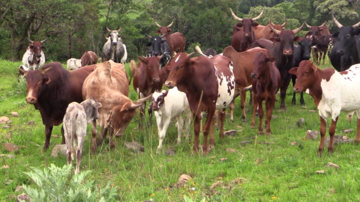 Government Declares The Issuance Of Birth Certificates To Cows