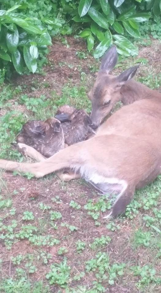 Debbie captures birth of twin deer