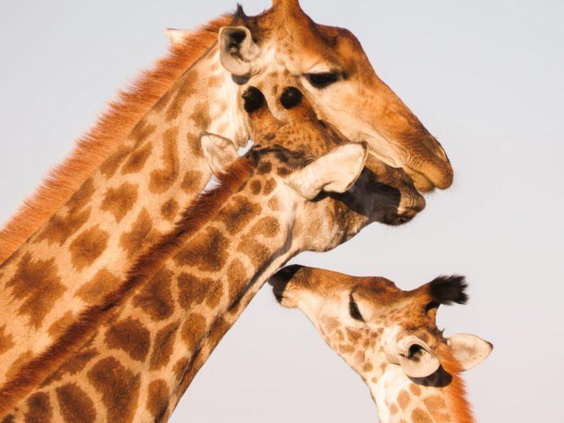 Menschen stören das Sozialverhalten von Giraffen