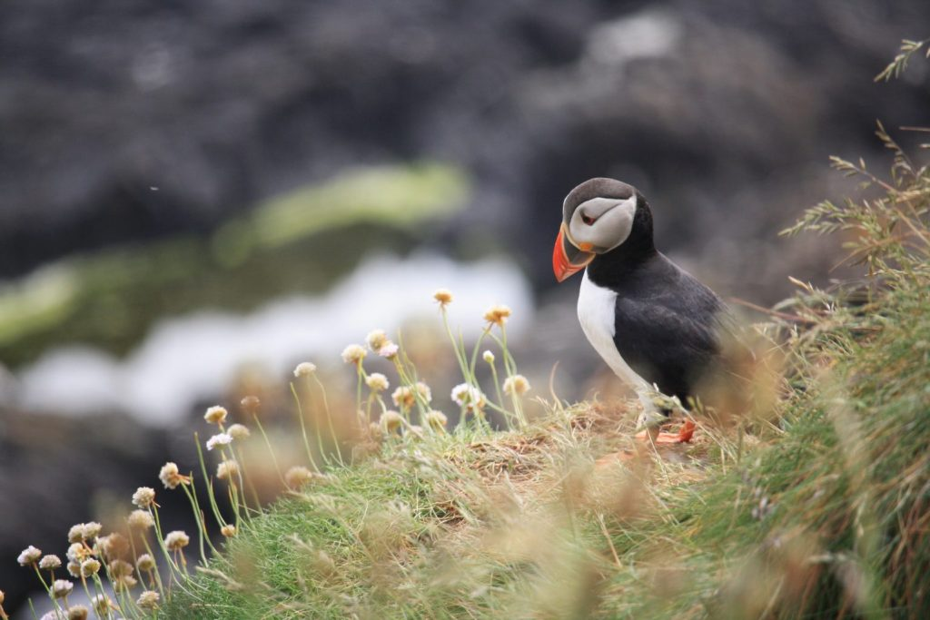 Puffin in a field - is seattle humid - witandfolly.co