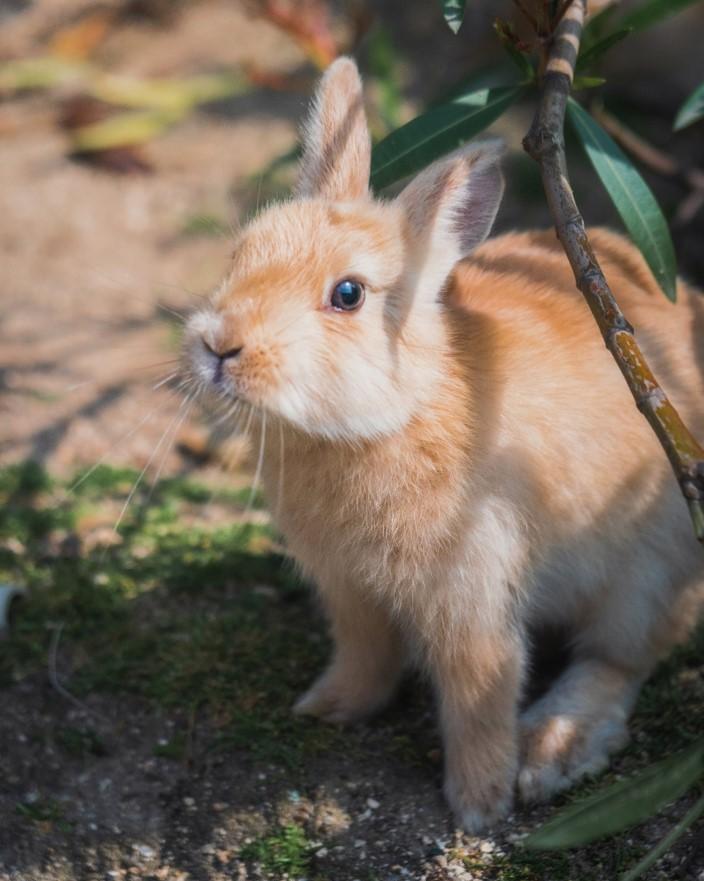 Rabbit on Okonushima Island in Japan picture 2 - witandfolly.co