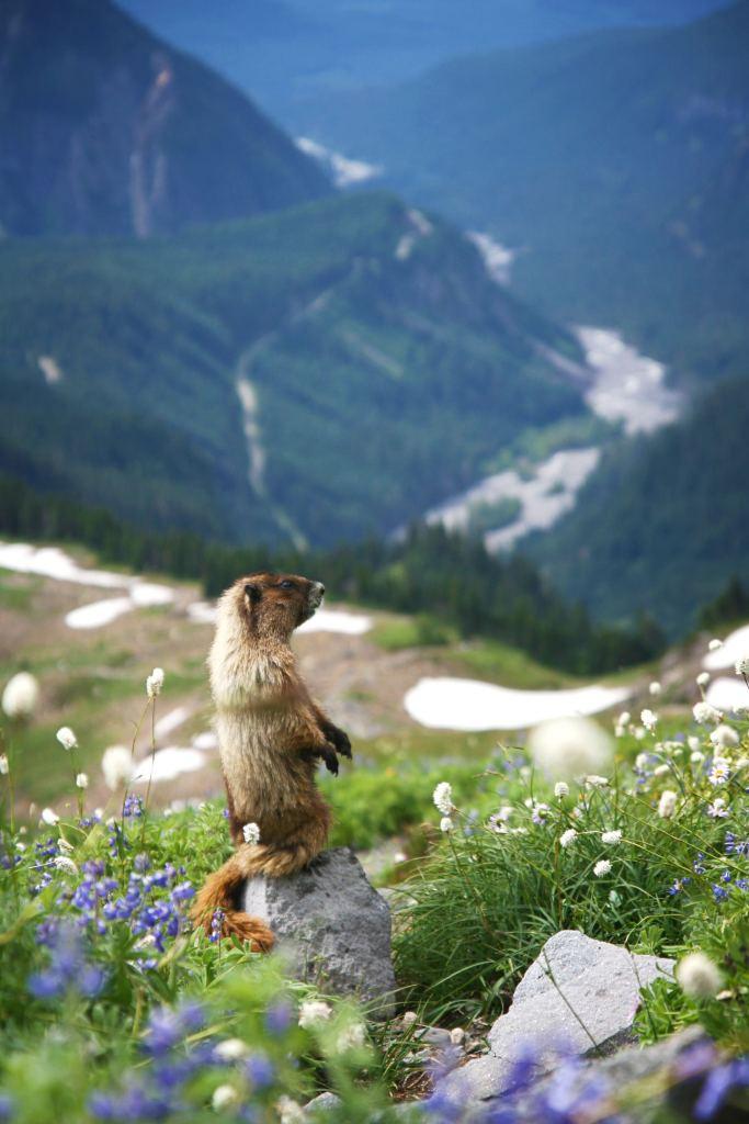 marmot-in-mount-ranier-national-park