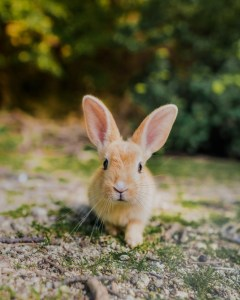 rabbit on rabbit island in japan