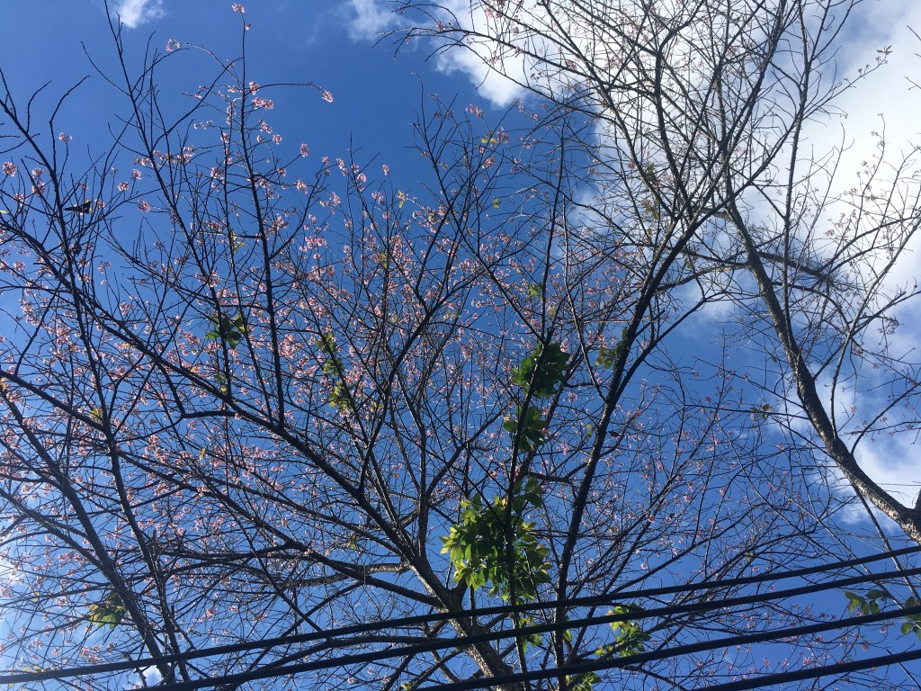 A few cherry blossoms remaining on the trees at a coffee plantation in Chiang Mai, Thailand.