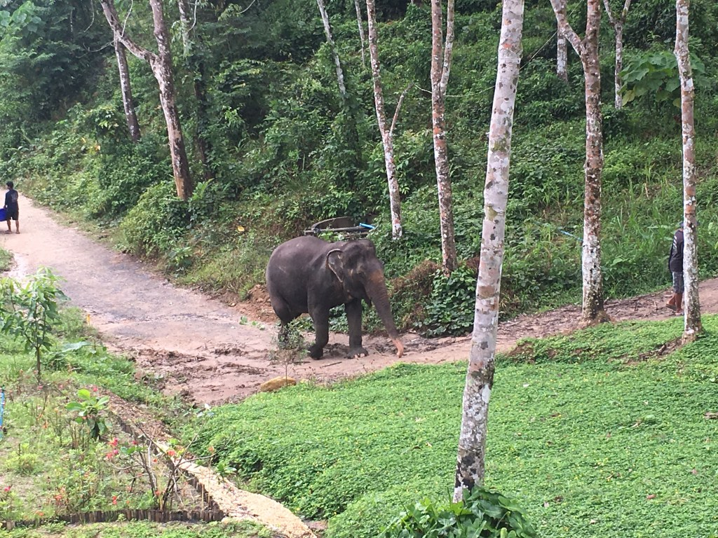 Lone elephant walking at Phuket Elephant Sanctuary in Phuket, Thailand