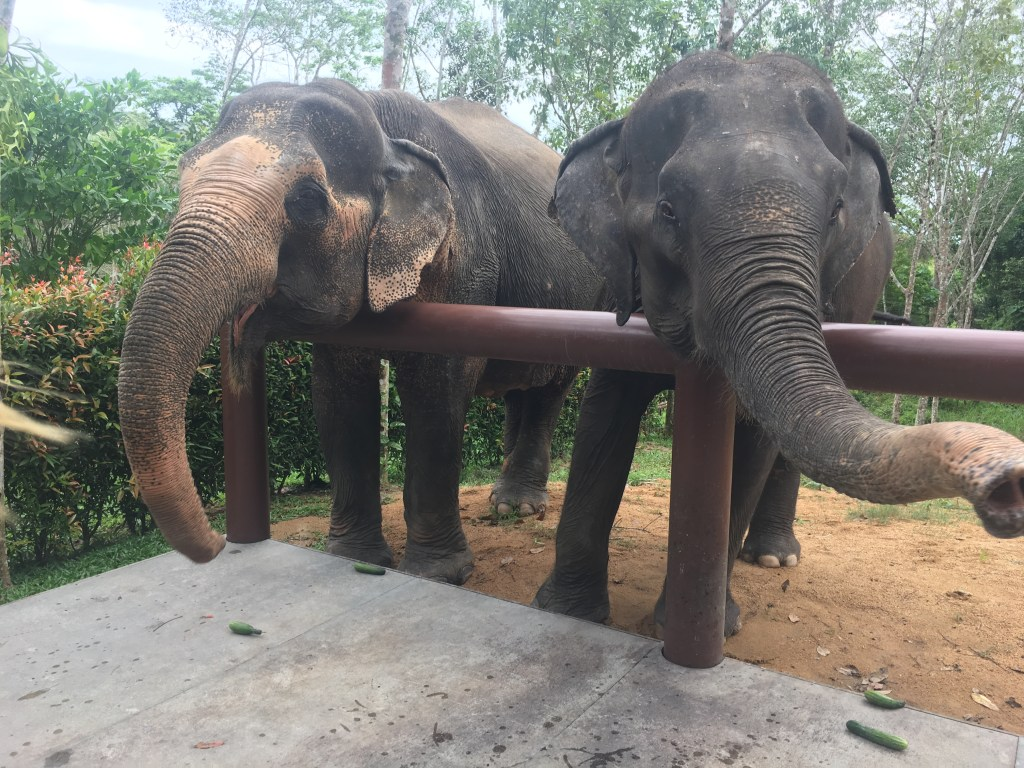 Two elephants leaning over fence at feeding time at Phuket Elephant Sanctuary in Phuket, Thailand
