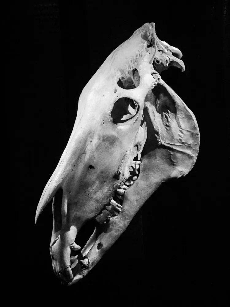 horse_skull_manchester_city_museum