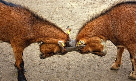 goats-173940_960_720