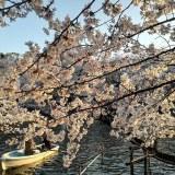 【井の頭恩賜公園 ボート場】ボートに乗って春を感じませんか♪