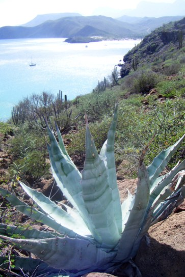 An agave plant ~ one of the amazing things about our little exploration of the hillside was all of the plants and flowers. It had rained a couple of days before (a rare thing around here) so all of the little buds were coming out. Jon's mom gave me an awesome book to identify desert wildflowers, so I will try to post some identified flowers soon! :D