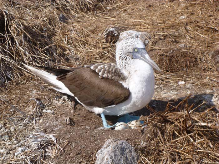A boobie bird on her nest with eggs