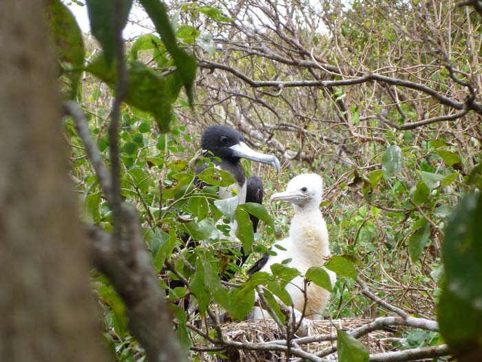 A mother frigate bird and her baby