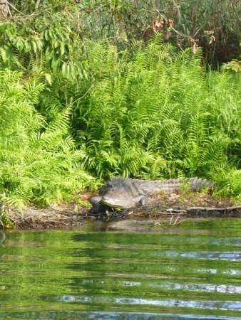 Another big croc