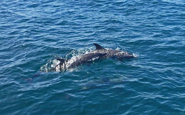 Dolphins | Brio
