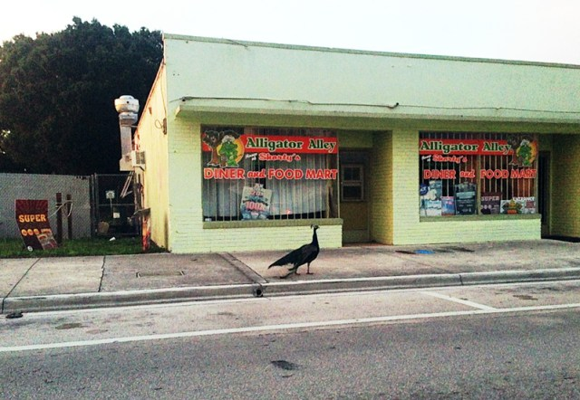 Just a peacock wandering around Florida's streets
