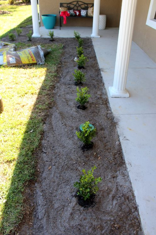Evenly planting boxwoods