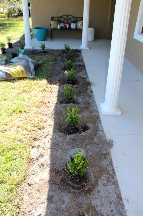 Spacing boxwoods about 2 to 3 feed apart when planting