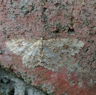 Engrailed Beauty