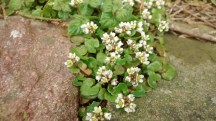 Common Scurvygrass (Cochliaria officinalis agg.)