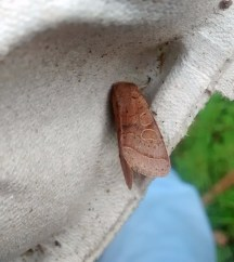 A slightly better one of this weeks Common Quaker