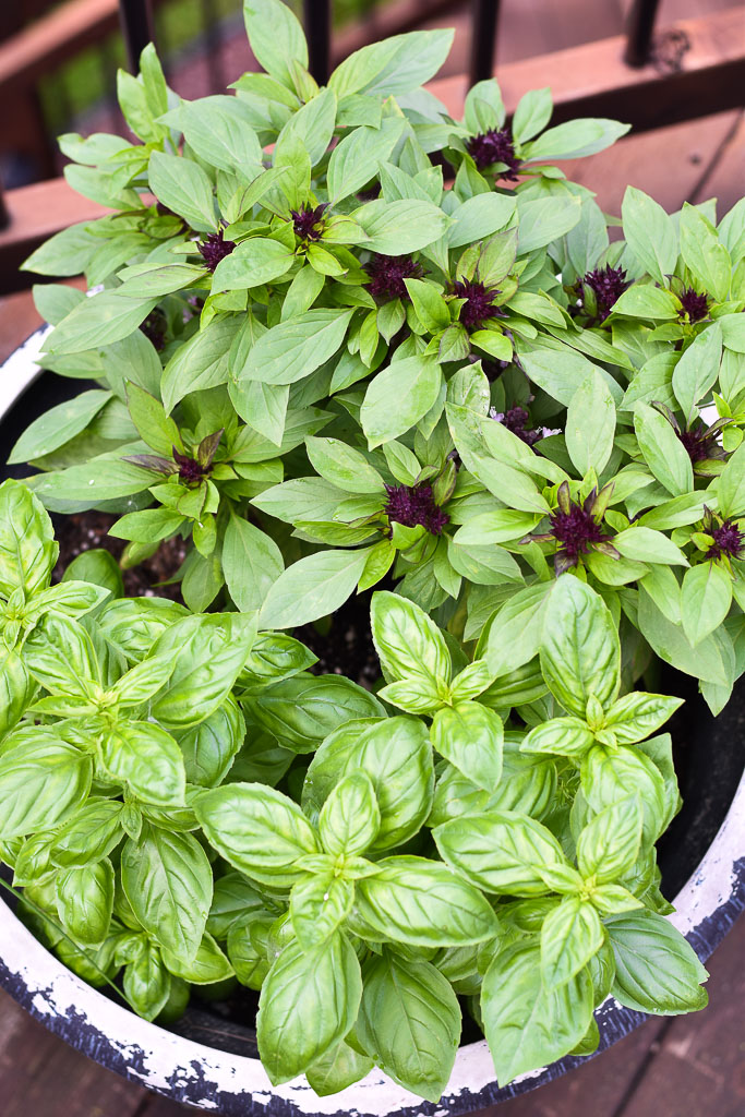 Thai Basil Pesto, basil in my pots
