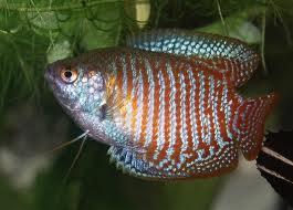 Dwarf Gourami - Freshwater Tropical Fish