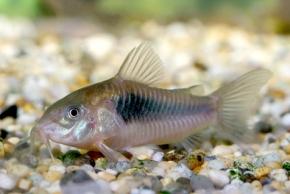 Freshwater Tropical Fish Profiles: Bottom Feeders (2/6)