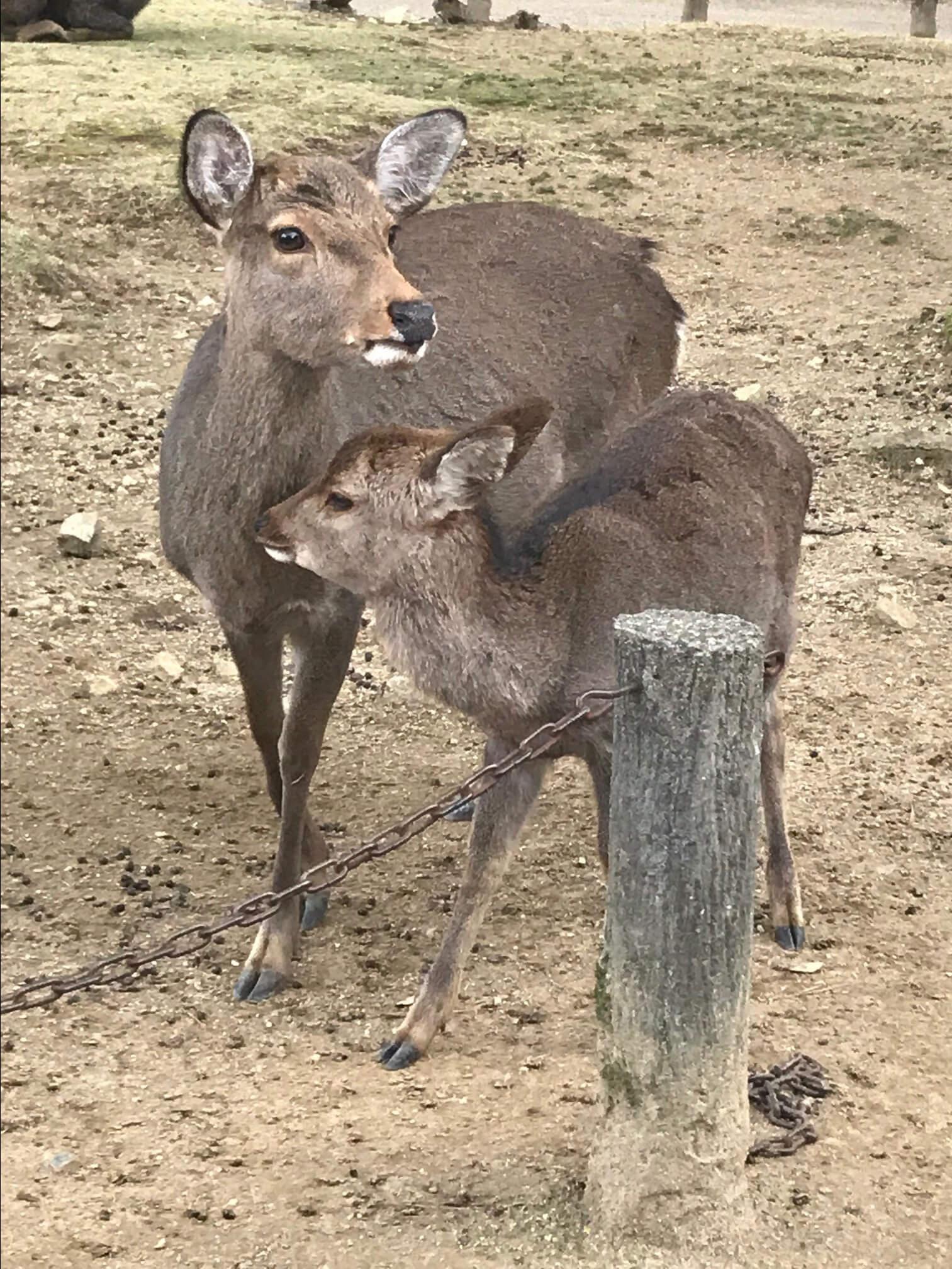 Mother and baby deer at Nara Park in Kyoto, Japan