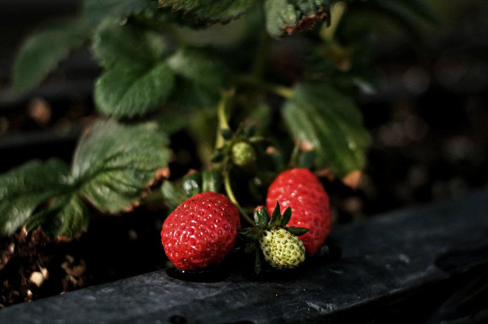 Health-benefits-of-Strawberry