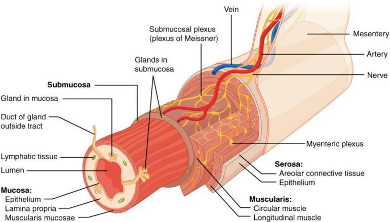 Soursop for Gastrointestinal health