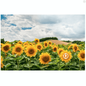 Zapz 'Bloomin' Brilliant Sunflowers' Mother's Day Video/Augmented Reality Card
