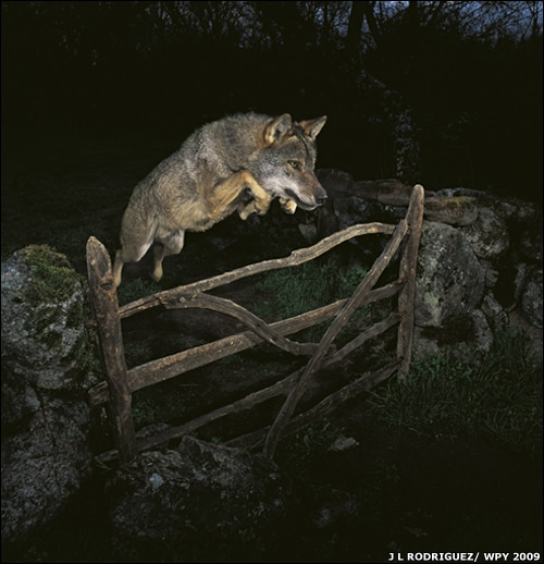 Leaping wolf snatches photo prize