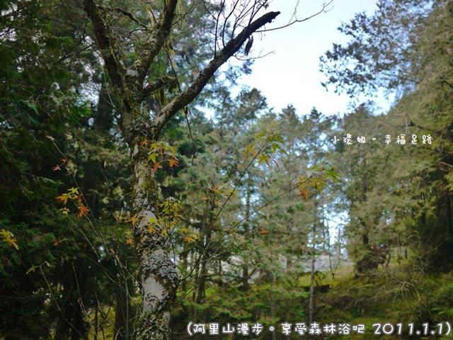 [玩♡嘉義-漫步阿里山。享受森林浴吧!阿里山森林遊樂區(神木區)]
