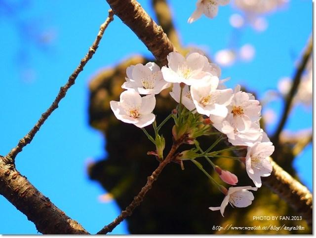 阿里山日出,阿里山櫻花季,阿里山火車,阿里山賞櫻 @小環妞 幸福足跡