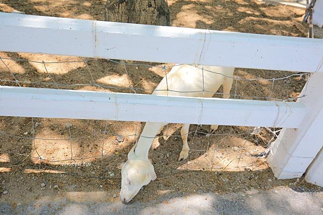 【華欣景點】綿羊牧場,華欣包車景點,浪漫LOVE造景,餵食小動物 @小環妞 幸福足跡