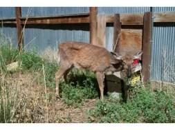 Deer Chronic Wasting