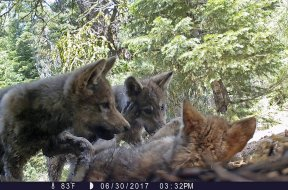Wolf cubs AP