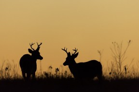 Whitetail deer bucks shadow file