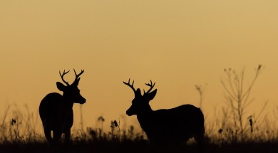 Whitetail deer bucks shadow file