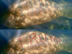 Trump Manatee